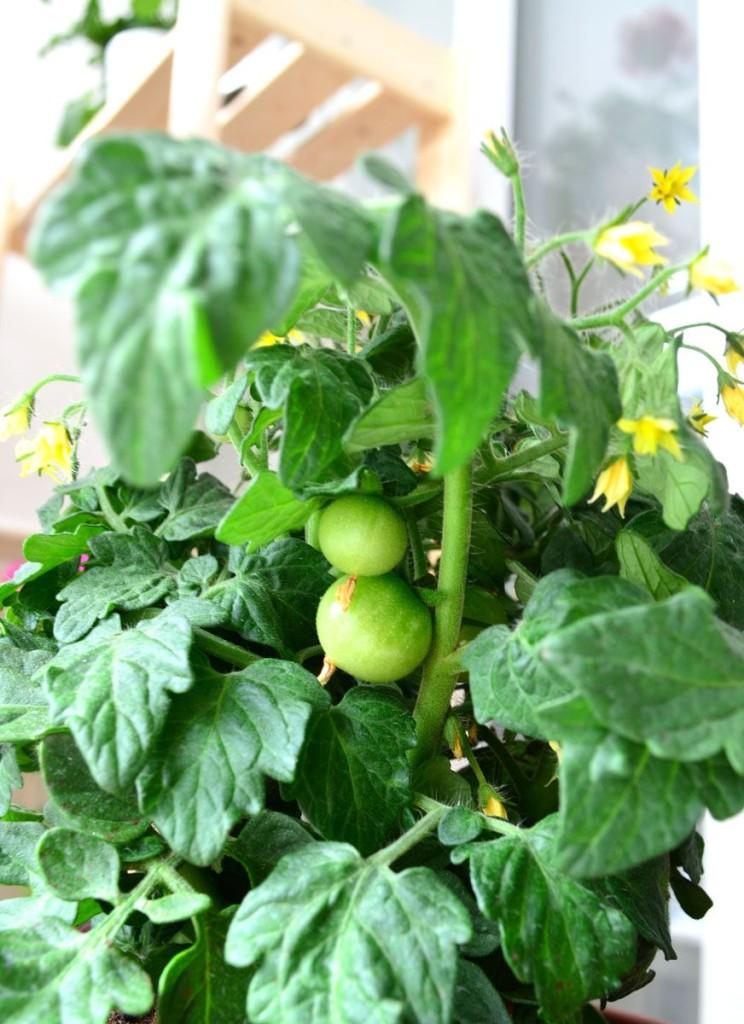 Mini macetohuerto tomates cherry