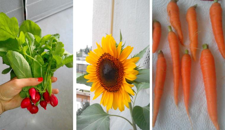Mini huerto rabanos girasol zanahorias